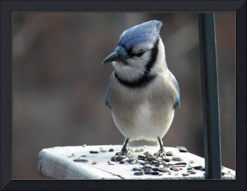A Blue Jay on My Back Deck