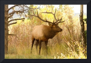 Bull Elk in the Brush