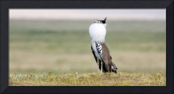 Side profile of a Kori bustard in a field