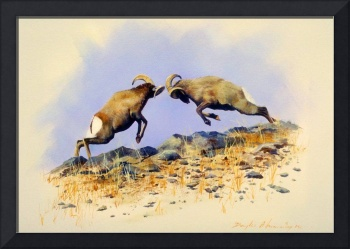 Big Horn Sheep Head to Head
