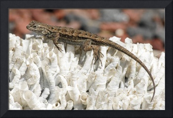 Western fence Lizard on a coral