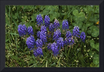 Grape hyacinth or muscari flowers blooming with c