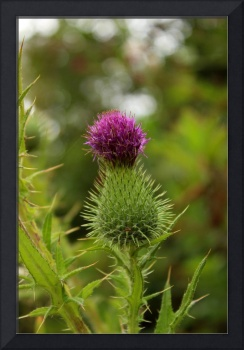 Wild Purple Thistle