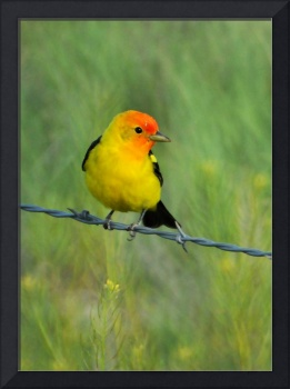 western tanager pretty bird weeds