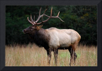 Great Bull Elk Standing Tall