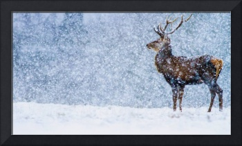 Red Deer Stag In Snowfall, Derbyshire, England