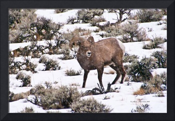 Big Horn Sheep Ram #5