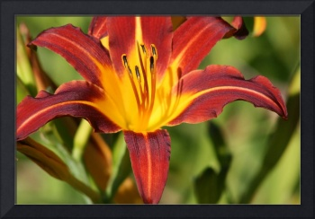 Daylily  Red and Orange