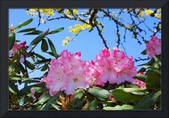 Blue Sky Rhodies Pink Floral Photography Art Print