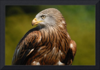 Red Kite in Profile