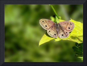Little Wood Satyr Butterfly - Megisto cymela