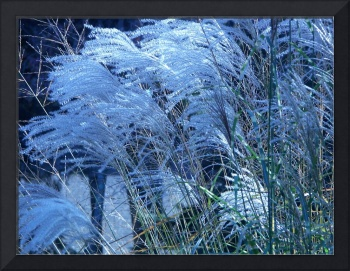 Decorative Grasses