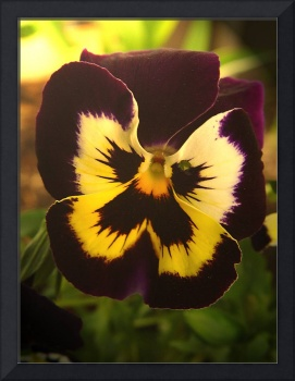 Butterfly Pansy