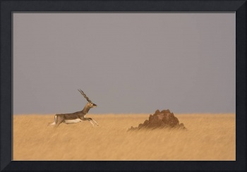Blackbuck and the anthill