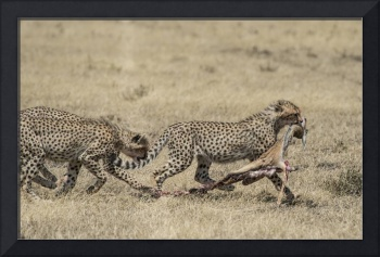 Cheetah babies and Gazelle Carcass