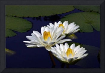 Three White Tropical Water Lilies version 2