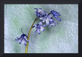 Bluebells with Texture