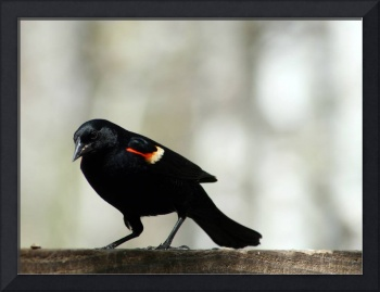 Red Winged Blackbird Collecting Seeds