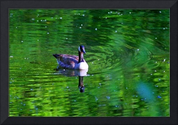 Canada Goose Reflecting in Green Water