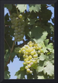 White Grapes On The Vine