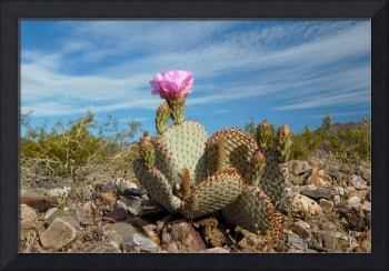 Blooming opuntia in Death Vally