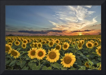 Sunflower Sunset in Texas