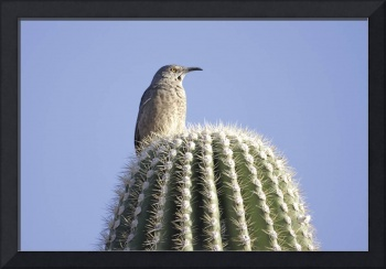 Curve-Billed Thrasher Photograph