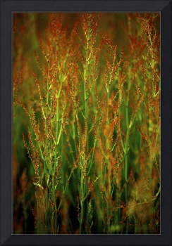 Red Flower Grass in Prairie