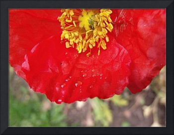 Red Poppy, Green Bug & Droplets