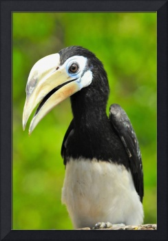 Female Hornbill, Big Eyelashes