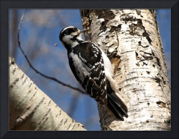 woodpecker on tree 2