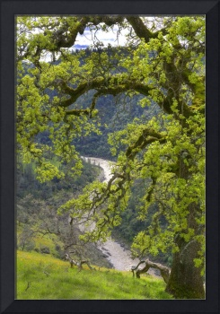 Spring Oak Tree and American River