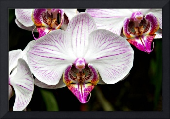 Orchid4606
