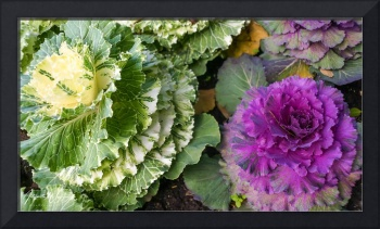 Flowering Cabbage