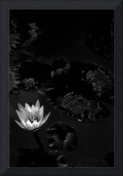 Lotus in Contrast