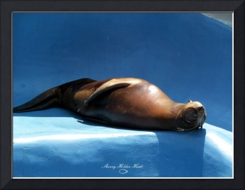 Nap Time - Sea Lion