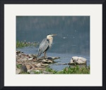 Great Blue Heron by Jacque Alameddine