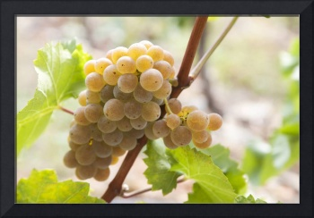 Autumn Dainty. Taste of Grapes