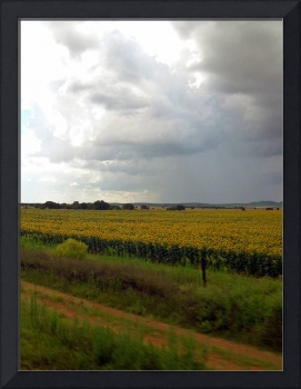 Storm Approaches Sunflower Field in South Africa