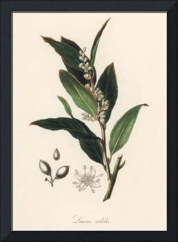 Vintage Botanical Bay laurel