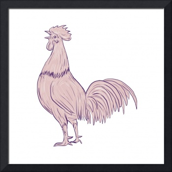 Chicken Rooster Crowing Side Drawing