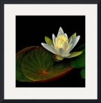Water Lily by Jim Bavosi