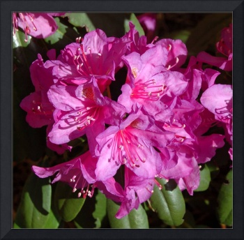 Red Rhododendron Blossom