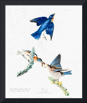 John Audubon Bluebirds Reimagined