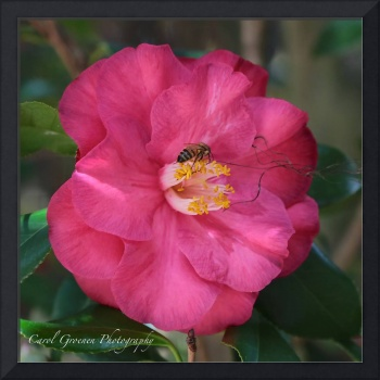 Bee on Pink Camellia