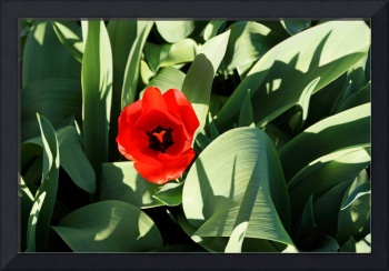 Red Tulip Flower Green Garden Spring Prints