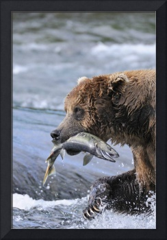 A brown bear carries away a chum salmon it caught
