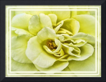 Dreamy Light Yellow Rose - Stamens & Petals Macro