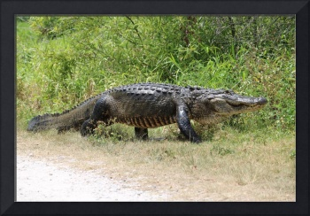 Large Gator on the Move