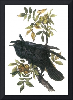 Common Raven Bird Audubon Print